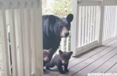 Две истории о медведицах с медвежатами