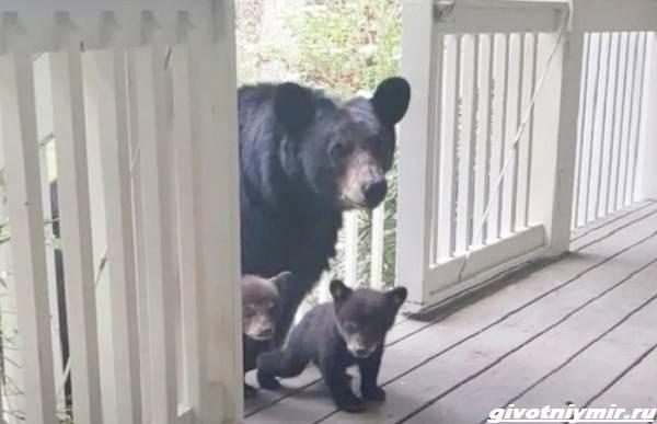 Две-истории-о-медведицах-с-медвежатами-1