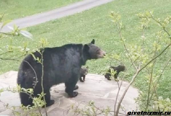 Две-истории-о-медведицах-с-медвежатами-2