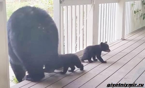 Две-истории-о-медведицах-с-медвежатами-3