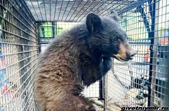 Две-истории-о-медведицах-с-медвежатами-5