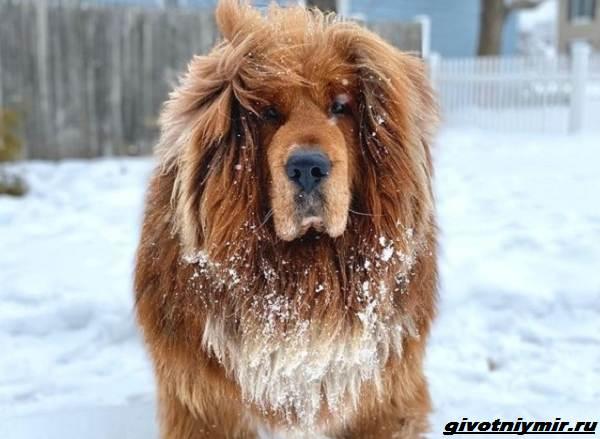 История-о-собаке-названной-в-честь-Великой-Китайской-стены-5