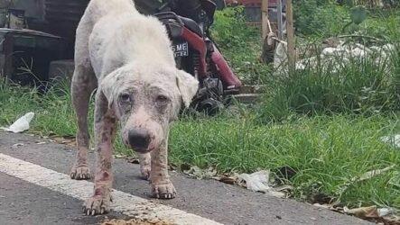 История о том, как бродячий больной пес без шерсти превратился в белого красавца