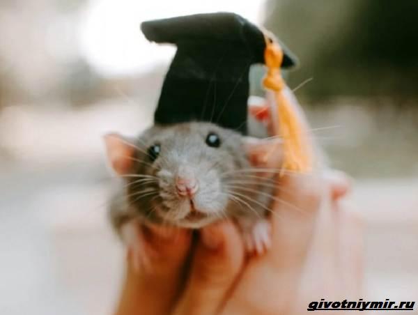 История-о-домашней-крысе-которая-поддерживала-свою-хозяйку-студентку-3