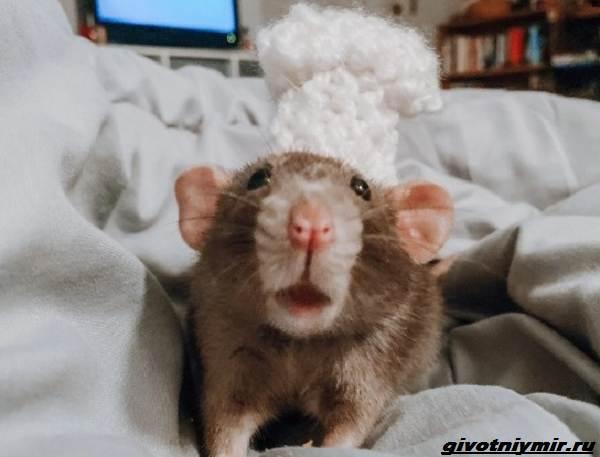 История-о-домашней-крысе-которая-поддерживала-свою-хозяйку-студентку-4