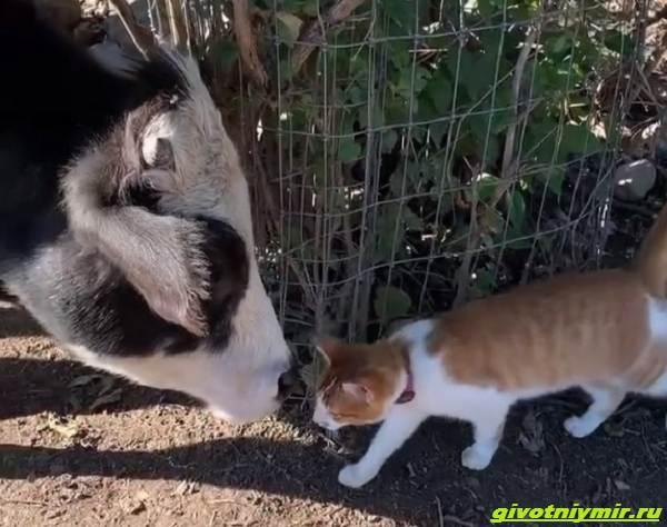 История-о-забавной-дружбе-коровы-и-кошки-1