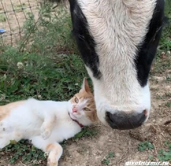 История-о-забавной-дружбе-коровы-и-кошки-2