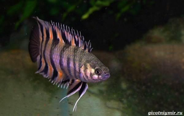 Ктенопома-аквариумная-рыба-особенности-виды-уход-11