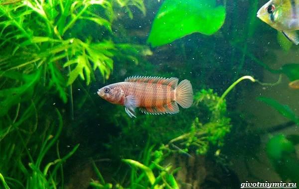Ктенопома-аквариумная-рыба-особенности-виды-уход-13