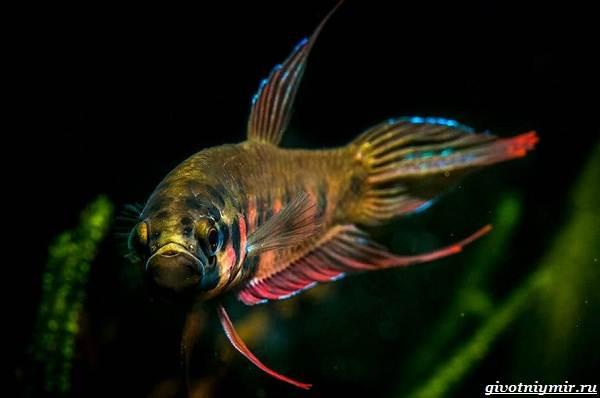 Ктенопома-аквариумная-рыба-особенности-виды-уход-14