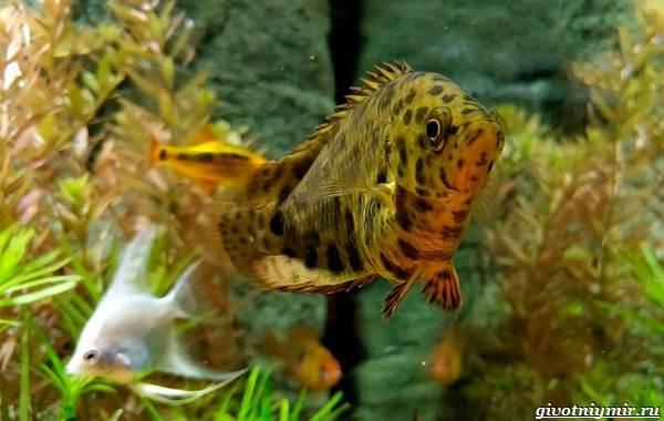 Ктенопома-аквариумная-рыба-особенности-виды-уход-15