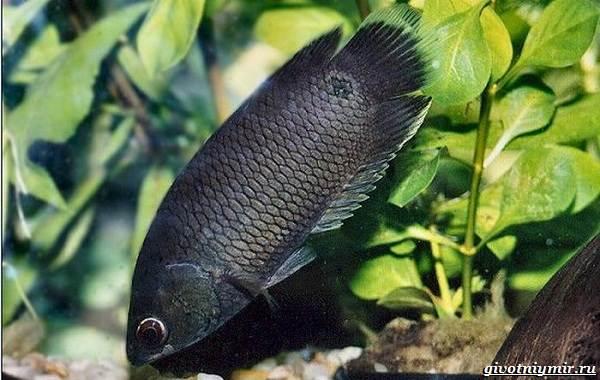 Ктенопома-аквариумная-рыба-особенности-виды-уход-3