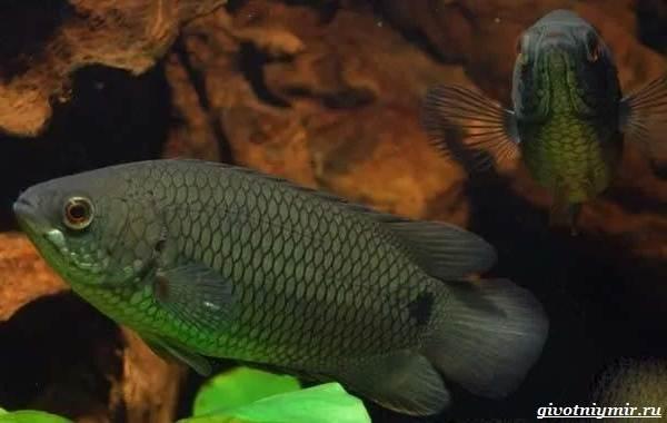 Ктенопома-аквариумная-рыба-особенности-виды-уход-4
