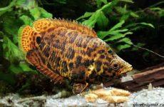 Ктенопома аквариумная рыба: особенности, виды, уход