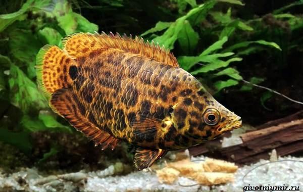 Ктенопома-аквариумная-рыба-особенности-виды-уход-5