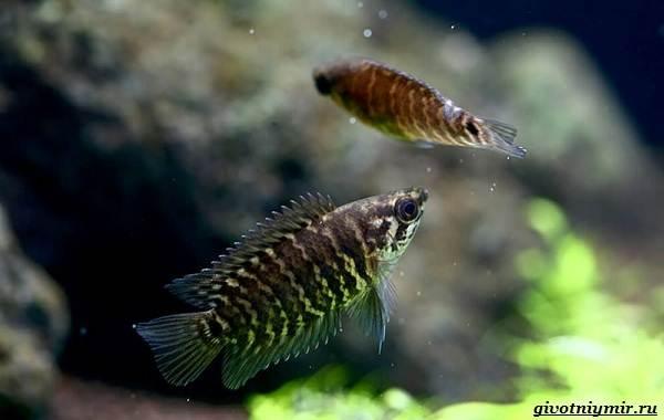 Ктенопома-аквариумная-рыба-особенности-виды-уход-6