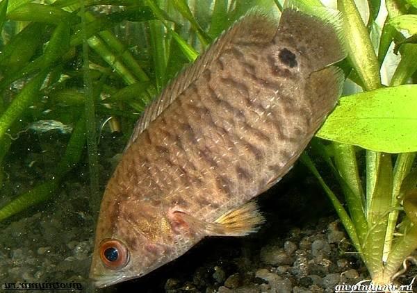 Ктенопома-аквариумная-рыба-особенности-виды-уход-7