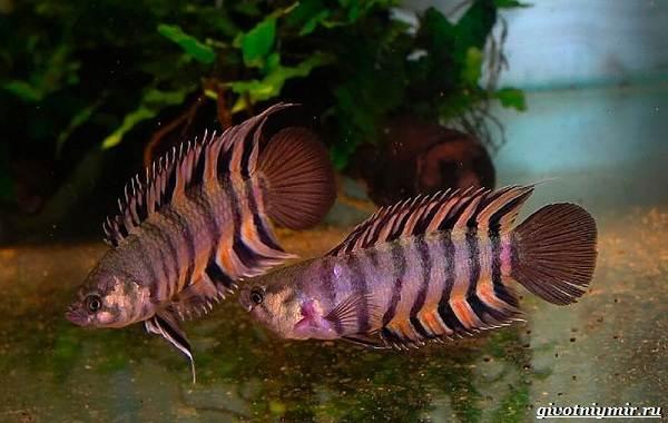 Ктенопома-аквариумная-рыба-особенности-виды-уход-9